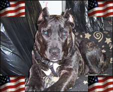 Large Dog With American Flags
